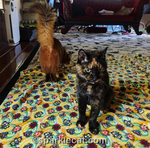 somali cat supervising and tortoiseshell cat just sitting there