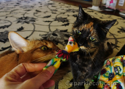 tortoiseshell cat and somali cat sniffing nip knot