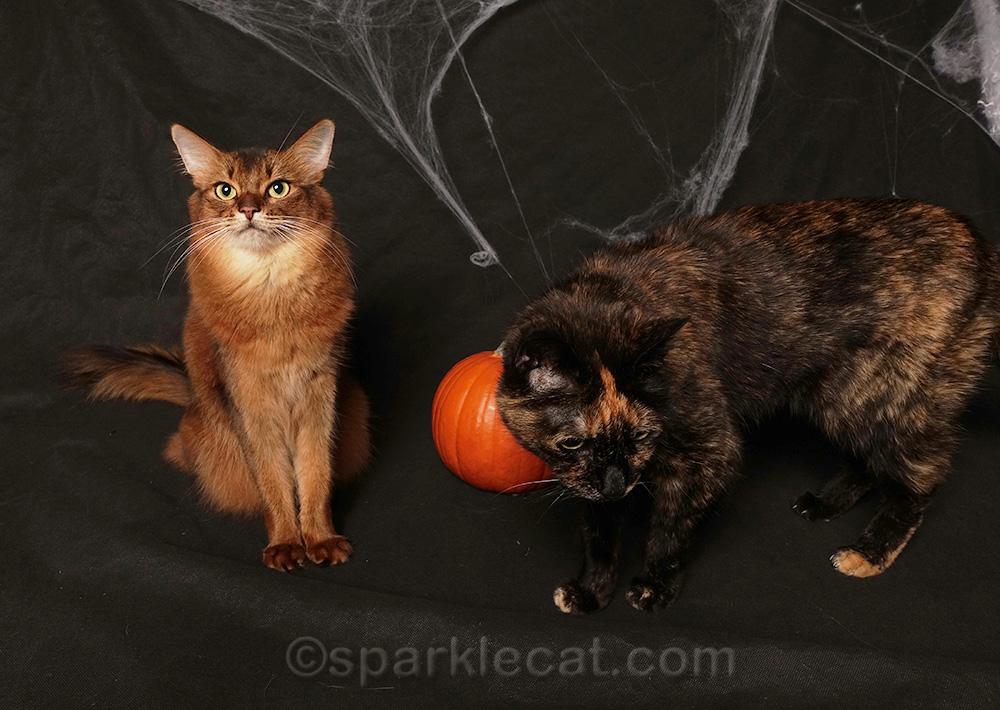 tortoiseshell cat photo bombing Halloween photo shoot with somali cat