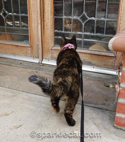 tortoiseshell cat looking through leaded glass door at somali cat