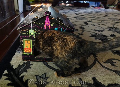 tortoiseshell cat invading somali cat in haunted house scratcher