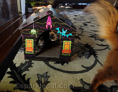 somali cat chased out of haunted house scratcher by tortoiseshell cat