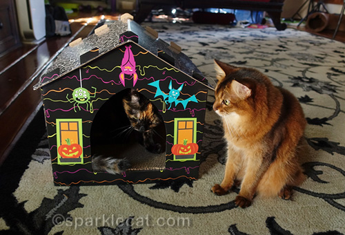 somali cat waiting for tortoiseshell cat to leave scratcher house