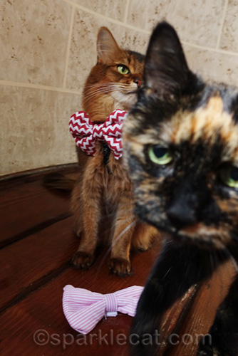 tortoiseshell cat photo bombing Somali cat