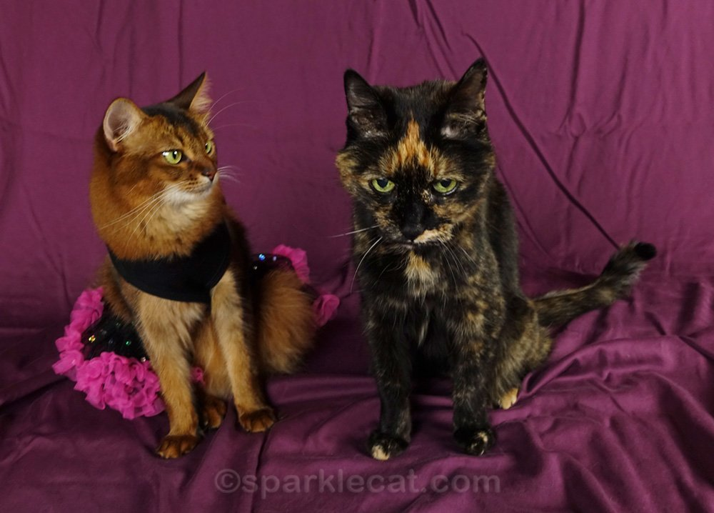 Somali cat in dress looking at tortoiseshell cat, who is not supposed to be there