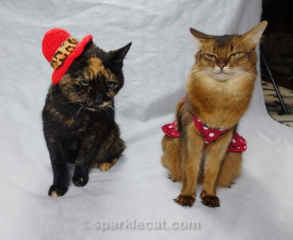 somali cat and tortoiseshell cat looking annoyed