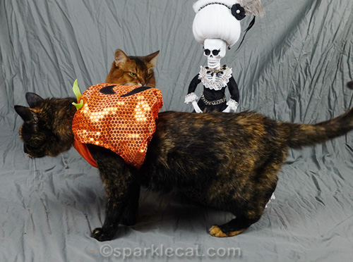 tortoiseshell cat in pumpkin costume leaves the set