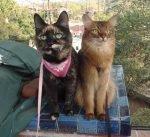 Somali cat and tortoiseshell cat on leashes