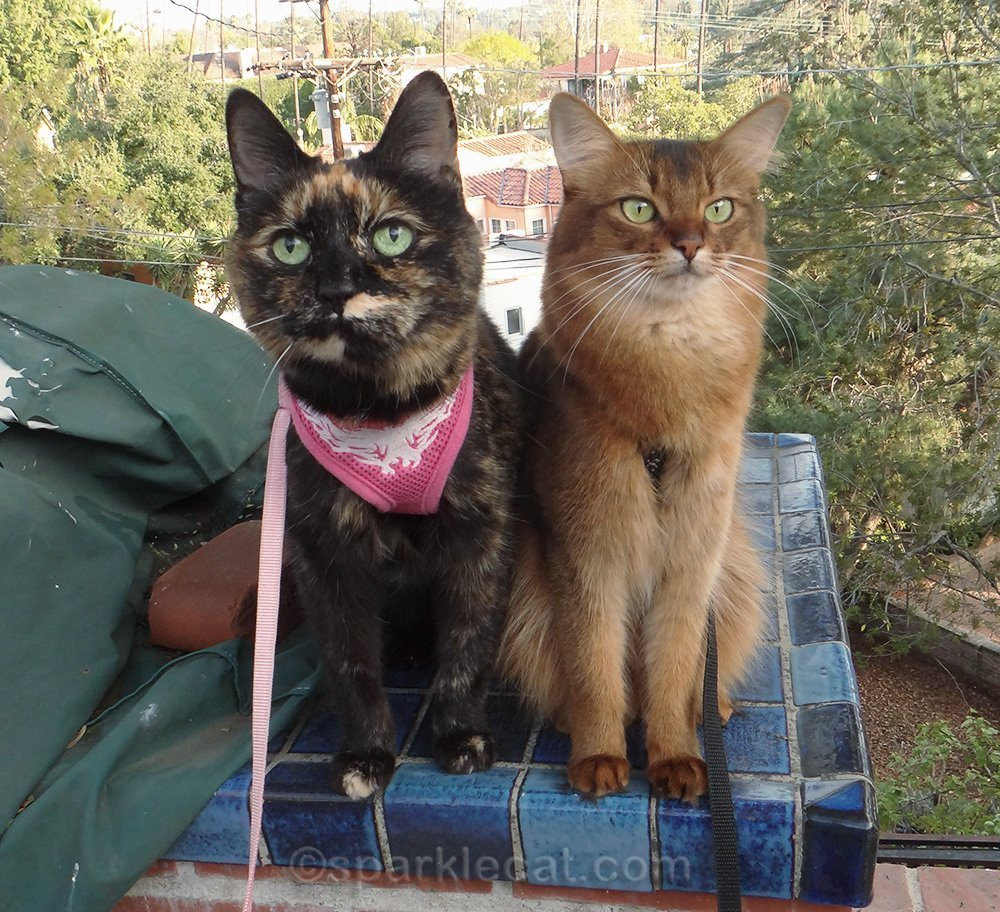 Somali cat and tortoiseshell cat on leashes