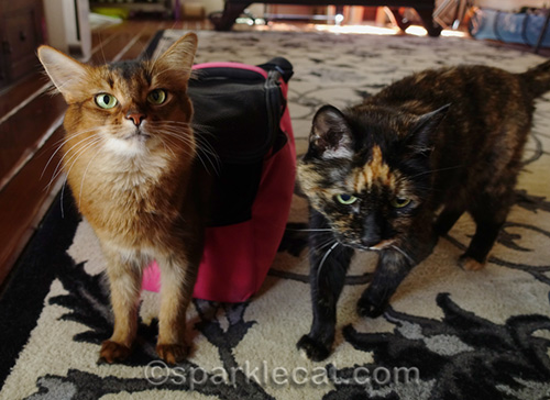 somali cat and tortoiseshell cat with carrier
