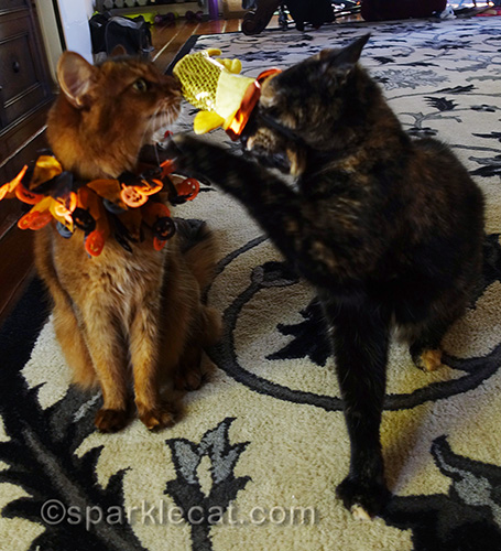 tortoiseshell cat not happy about wearing fish hat