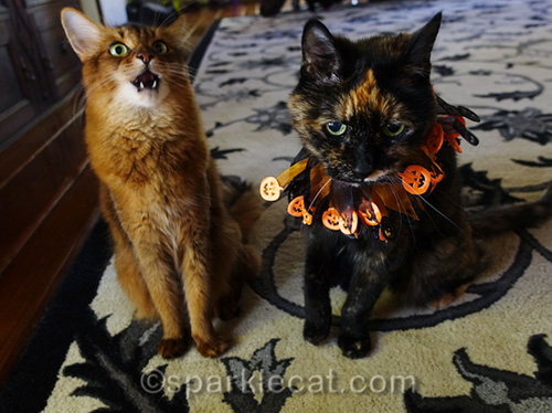 somali cat laughing at tortoiseshell cat wearing cheap Halloween collar