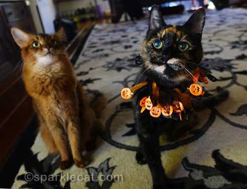somali cat and tortoiseshell cat in Halloween collar waiting for treats