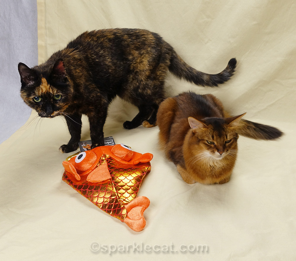 somali cat and tortoiseshell cat with fish costume