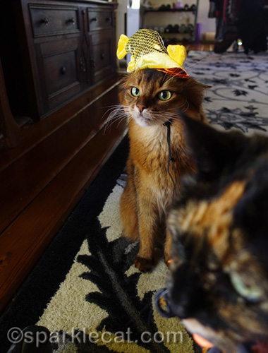 annoyed somali cat in fish hat being photo bombed by tortoiseshell cat