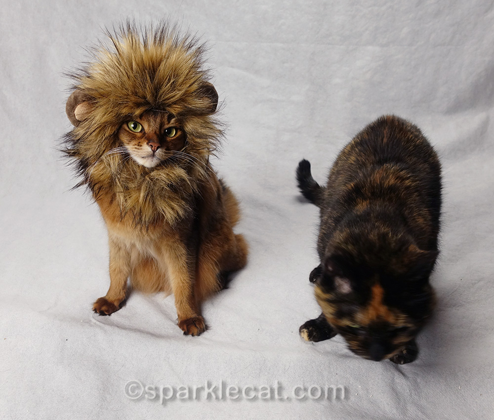 somali cat in lion hat, with tortoiseshell cat