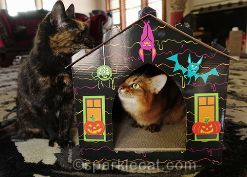 somali cat in haunted house looking at tortoiseshell cat