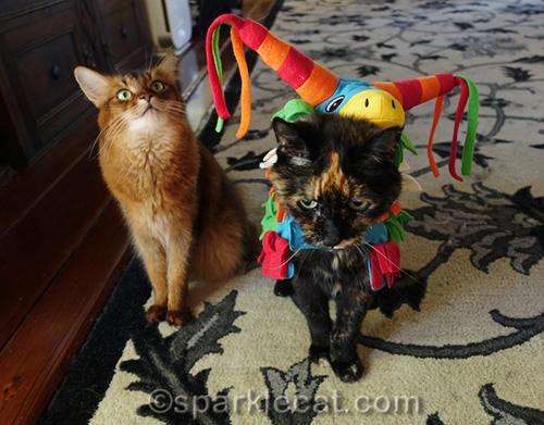 somali cat fed up with tortoiseshell cat wearing costume