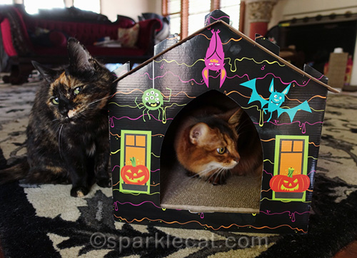 sly tortoiseshell cat annoying somali cat in haunted house scratcher