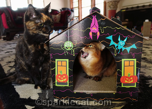 somali cat in haunted house scratcher annoyed by tortoiseshell cat