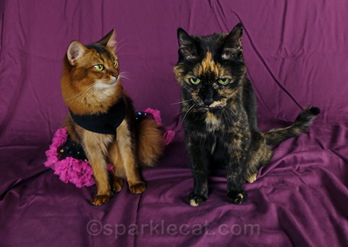 somali cat in dress stares unbelievingly at tortoiseshell cat