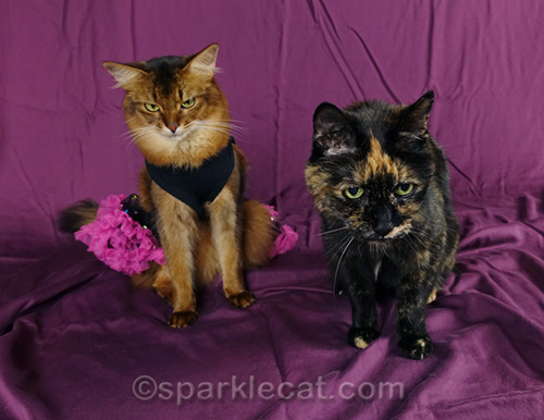 somali cat in dress and tortoiseshell cat on National Cat Day