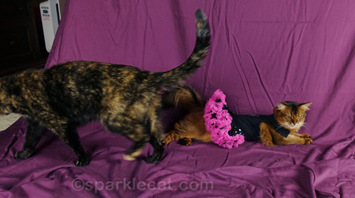 tortoiseshell walks off set of photo shoot while somali cat in dress lies down