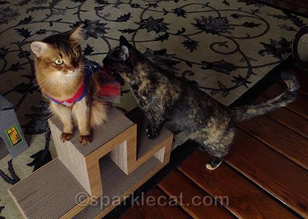 Somali cat, tortoiseshell cat, cat costume, cat superhero
