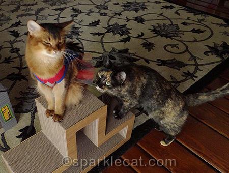 Somali cat, tortoiseshell cat, cats playing, cat costume, cat superhero costume
