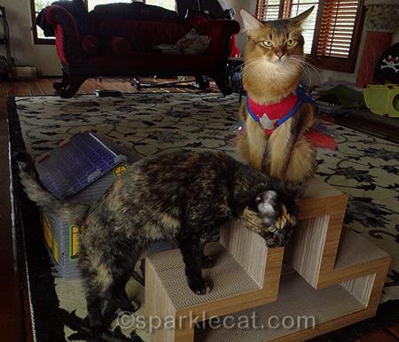 Somali cat, tortoiseshell cat, annoyed cat, cat superhero costume