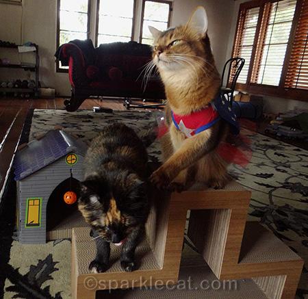 Somali cat, tortoiseshell cat, cat whap, cats playing, mad cat