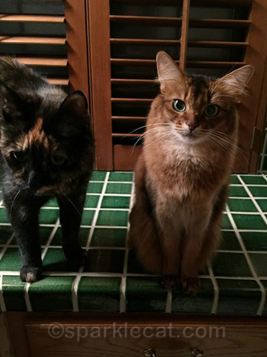 somali cat and tortoiseshell cat on bathroom counter
