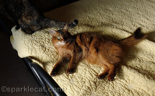somali cat in sun puddle, with tortoiseshell cat behind her
