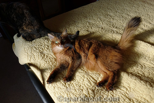 somali cat being annoyed by tortoiseshell cat tail