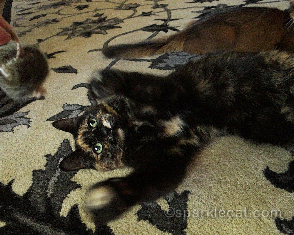 tortoiseshell cat playing