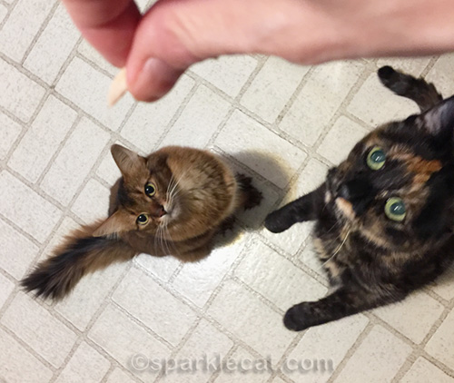 two cats begging for leftover turkey