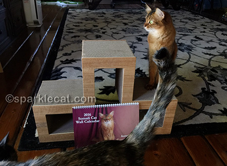 somali cat, cat calendar, tortoiseshell cat, cat photo bomb