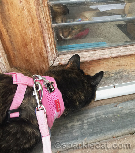 tortoiseshell cat outside communicates with somali cat inside