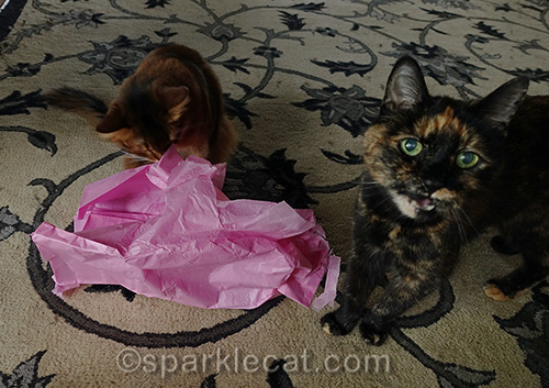 somali cat looks in pink tissue paper while tortoiseshell cat complains