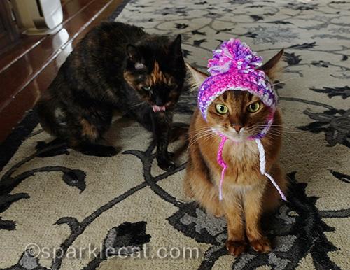 tortoiseshell cat stalks somali cat wearing chullo hat