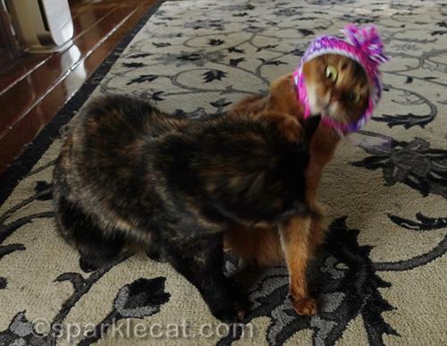 tortoiseshell cat attacks somali cat wearing chullo hat