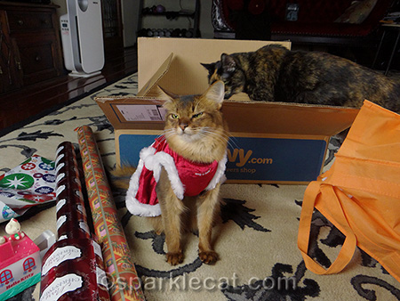 Somali cat, tortoiseshell cat, cats and boxes, cat christmas, gift wrapping