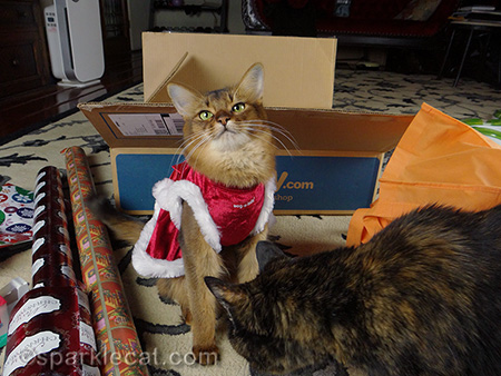 Somali cat, cat Christmas dress, tortoiseshell cat, cat gift wrapping
