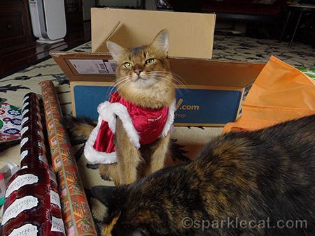cat photo bomb, Somali cat, tortoiseshell cat