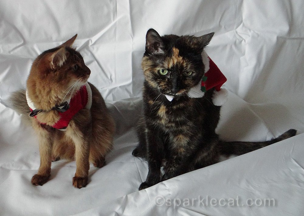 somali cat and tortoiseshell cat in holiday wear