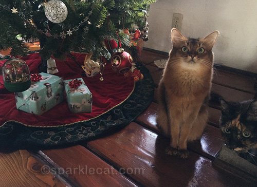somali cat annoyed that tortoiseshell cat is curious about Christmas presents