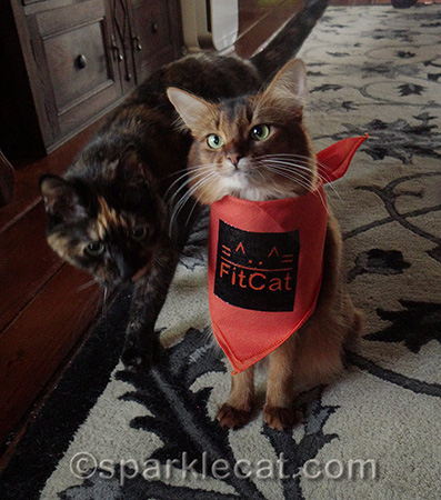 somali cat, tortoiseshell cat, orange bandana, Fitcat publishing