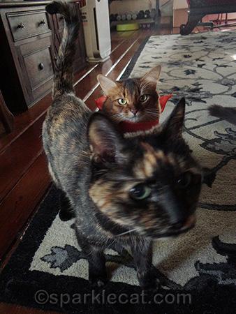 tortoiseshell cat, Binga, photo bomb