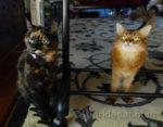tortoiseshell cat and Somali cat celebrating festivus cat style