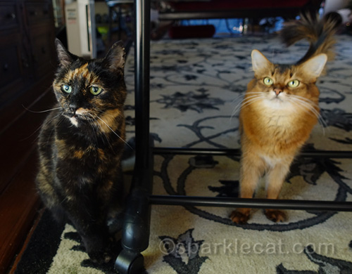 tortoiseshell cat and Somali cat celebrating festivus cat style